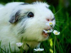 happy-guinea-pig-2