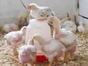spr08_chickens_at_3_weeks