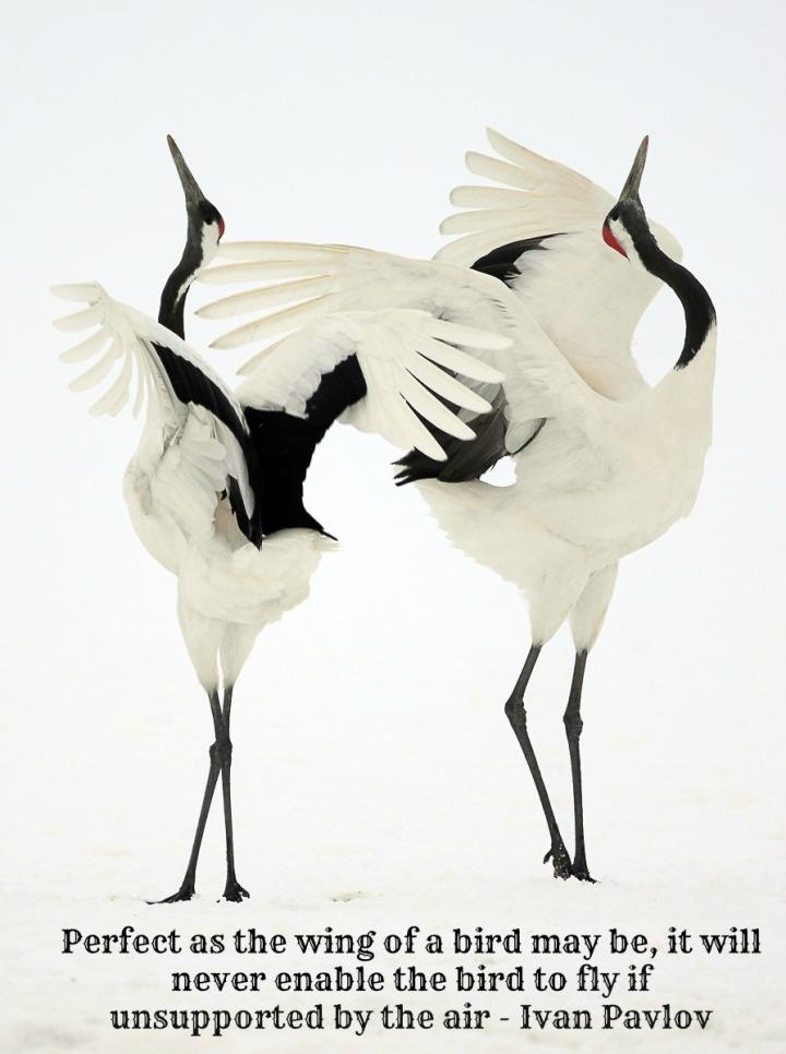 Dancing-Japanese-Cranes