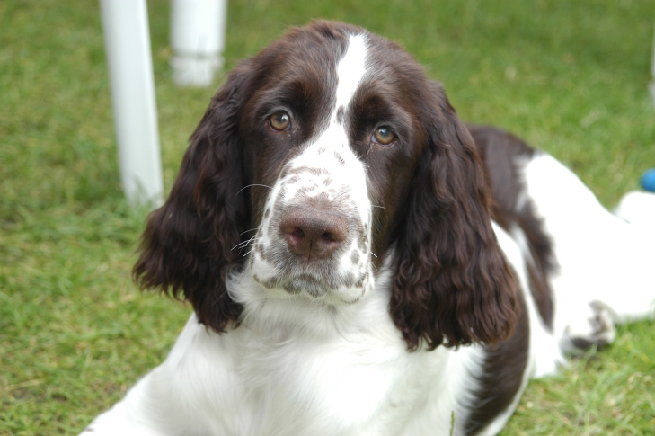 english-beautiful-english-springer-spaniel-dog-breed